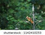 female northern cardinal... | Shutterstock . vector #1142410253