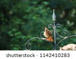 female northern cardinal... | Shutterstock . vector #1142410283