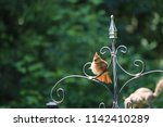 female northern cardinal... | Shutterstock . vector #1142410289
