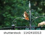female northern cardinal... | Shutterstock . vector #1142410313