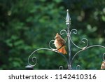 female northern cardinal... | Shutterstock . vector #1142410316