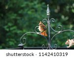 female northern cardinal... | Shutterstock . vector #1142410319