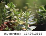 green succulent potted plants... | Shutterstock . vector #1142413916