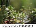 green succulent potted plants... | Shutterstock . vector #1142413919