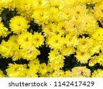 yellow chrysanthemum flower...   Shutterstock . vector #1142417429