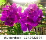 beautiful pink orchid with...   Shutterstock . vector #1142422979