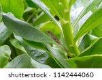 lizard on leaf | Shutterstock . vector #1142444060
