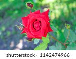 red rose in blurry natural... | Shutterstock . vector #1142474966