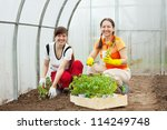 Two women planting tomato seedlings in hothouse - stock photo