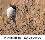 fiscal shrike rietvlei nature... | Shutterstock . vector #1142564903