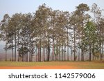 pine forest. row of pine trees... | Shutterstock . vector #1142579006