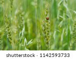 the lady bug in the field | Shutterstock . vector #1142593733