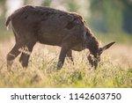 grazing red deer doe between...   Shutterstock . vector #1142603750