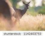 young red deer doe between tall ...   Shutterstock . vector #1142603753