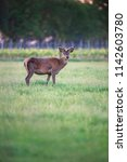 red deer buck in spring meadow...   Shutterstock . vector #1142603780