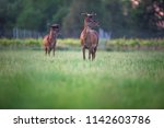 two red deer stag in spring...   Shutterstock . vector #1142603786
