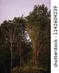 spring trees in evening sun...   Shutterstock . vector #1142604239
