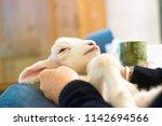 a newborn lamb lies relaxed on...