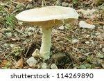 Small photo of mature exemplar of prataiolo fungus, agaricus campestris, agaricaceae