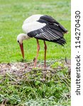 Small photo of A mother stork feeding its young saplings, the mother gives the food that she has herself digested beforehand