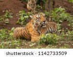 tiger of kabini | Shutterstock . vector #1142733509