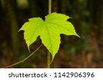 green maple leaf | Shutterstock . vector #1142906396