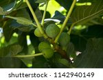 ripe figs on a tree  green figs  | Shutterstock . vector #1142940149