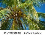 coconut palm on a background of ... | Shutterstock . vector #1142941370
