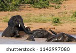 african elephants playing in... | Shutterstock . vector #1142997080