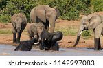 african elephants playing in... | Shutterstock . vector #1142997083