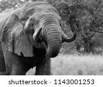 african elephant drinking in... | Shutterstock . vector #1143001253