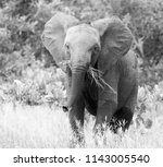 young african elephant in black ... | Shutterstock . vector #1143005540