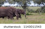 elephants in a row  kruger... | Shutterstock . vector #1143011543