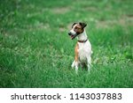 Smooth Fox Terrier Sitting In A ...