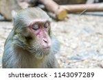 photo monkey at the zoo. monkey ... | Shutterstock . vector #1143097289