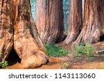 giant sequoia trees in mariposa ... | Shutterstock . vector #1143113060