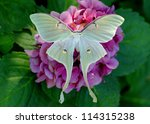 Small photo of Beautiful Luna Moth, Actias luna, on hydrangea flower (male)