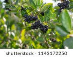 aronia berries  aronia... | Shutterstock . vector #1143172250