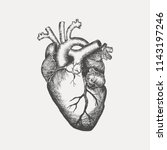 anatomical human heart   sketch ... | Shutterstock .eps vector #1143197246