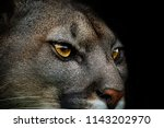 close up of cougar. detail... | Shutterstock . vector #1143202970