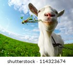 Portrait Of A Goat Eating A...