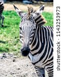 animals wildlife photography  | Shutterstock . vector #1143253973