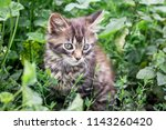 Stock photo a small striped kitten sits in a tall green grass 1143260420