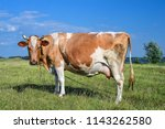 cow standing on green field and ... | Shutterstock . vector #1143262580