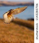 wild kestrel in flight facing...   Shutterstock . vector #1143283706