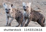 spotted hyena pups  kruger... | Shutterstock . vector #1143313616