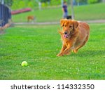 Stock photo irish setter moving in to pick up her ball 114332350