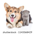 Stock photo corgi puppy with open mouth lying with tiny kitten isolated on white background 1143368429