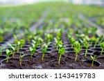 watermelon seedlings in tray... | Shutterstock . vector #1143419783
