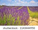 the flowering of lavender in...   Shutterstock . vector #1143444950